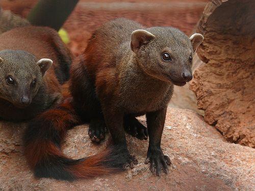 Galidia e. elegans - Östlicher Ringelschwanzmungo - Eastern ring-tailed mongoose | Flickr - Photo Sharing!
