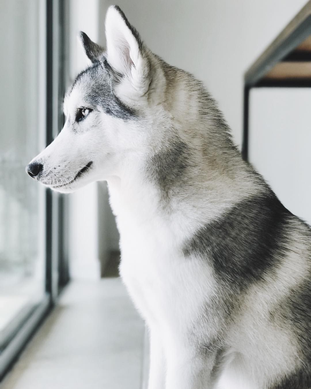 White Siberian Husky Puppy Dog Puppies Hound Dogs Huskies Cute