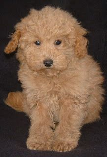Apricot Schnoodles Pups At Various Stages Schnoodle Westie Puppies Cute Baby Animals