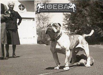 Bulldog Bulldog Breeds Dog Breed Info Nanny Dog