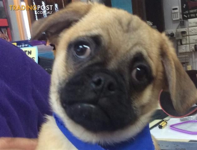 Pin By Christine Seage On Puppies Puppies Pug Cross Pugs