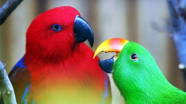 Eclectus Parrots Http Www Adelaidenow Com Au News South Australia Young Male Eclectus Parrot Goes Missing During Free Flight Tra Parrot Maluku Islands Zoo
