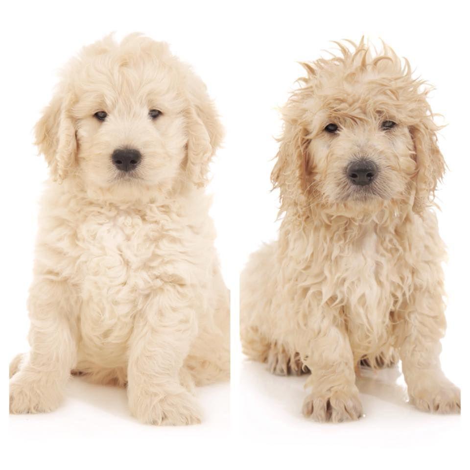 grooming tips | teddybear goldendoodles | smeraglia
