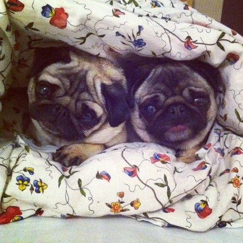 Sleepover party pugs! cutest little faces!!!