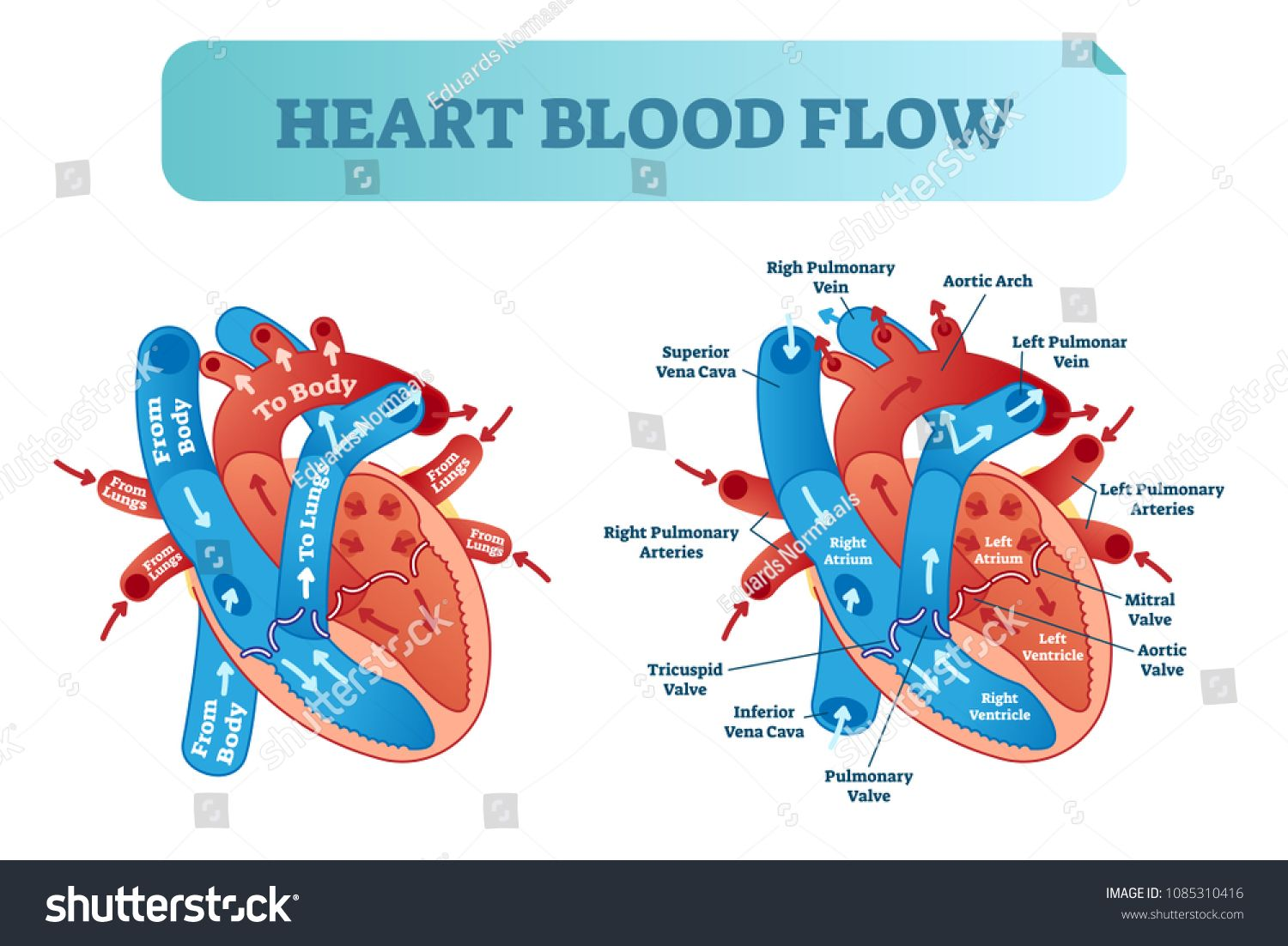 heart blood flow anatomical diagram with atrium and ventricle systemheart blood flow anatomical diagram with atrium and ventricle system vector illustration labeled medical poster