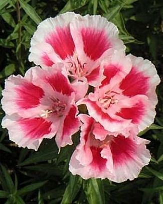 Dwarf Farewell To Spring Clarkia Amoena Flowers Beautiful Flowers Flowers Gif