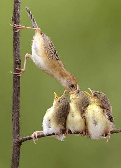 Mama bird feeding her chicks!   Birds, Wild birds, Pet birds