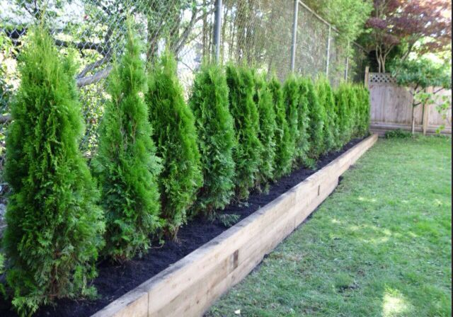 line of brandon or skybound cedars to give us privacy in on backyard fence landscaping id=42796
