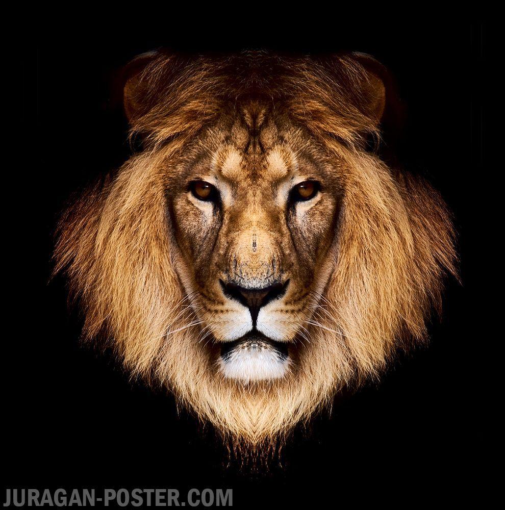 Juragan Poster Jual Poster Gambar Hewan Binatang Singa Jual