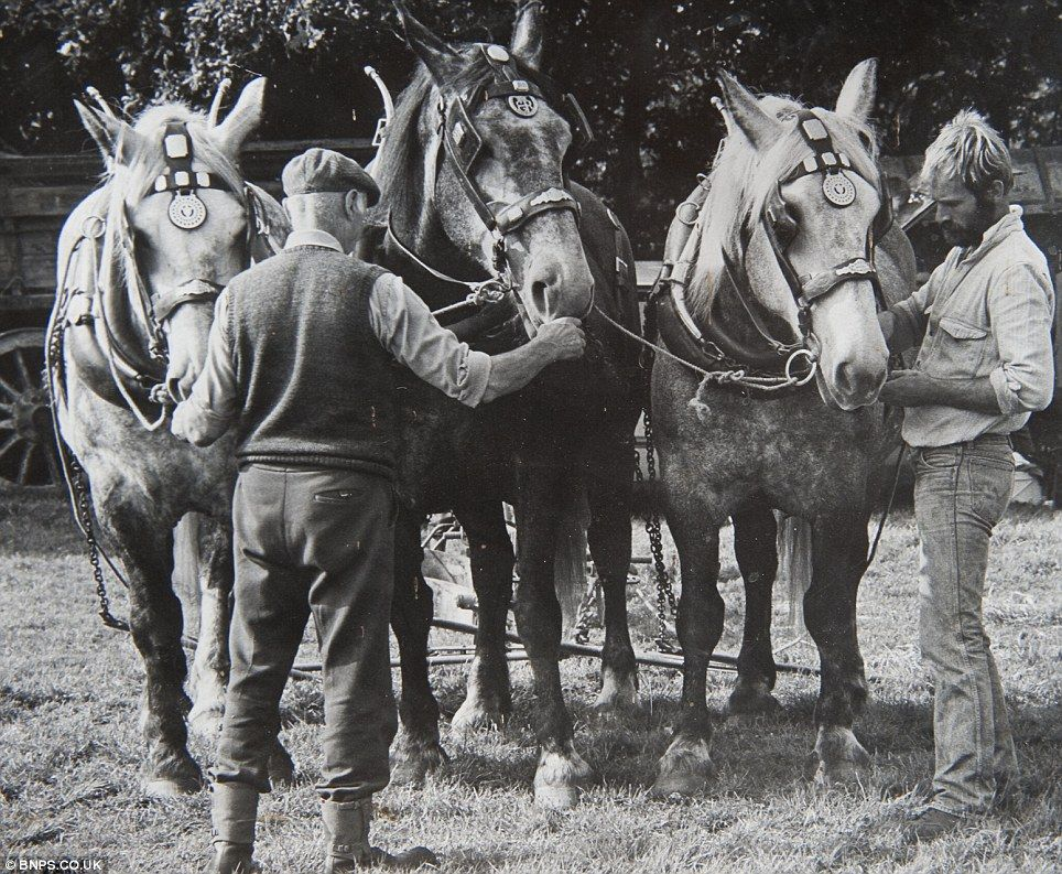 Farmer Lives Yesterday With His Percheron Teams Horses