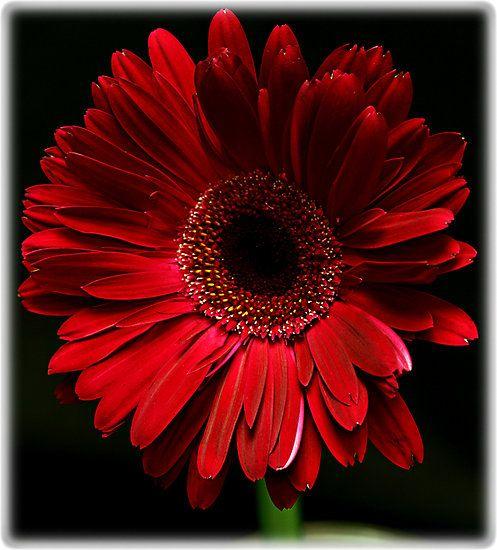 Dark Red Gerber Daisy By Swede Gerber Daisies Gerbera Daisy Red Flowers