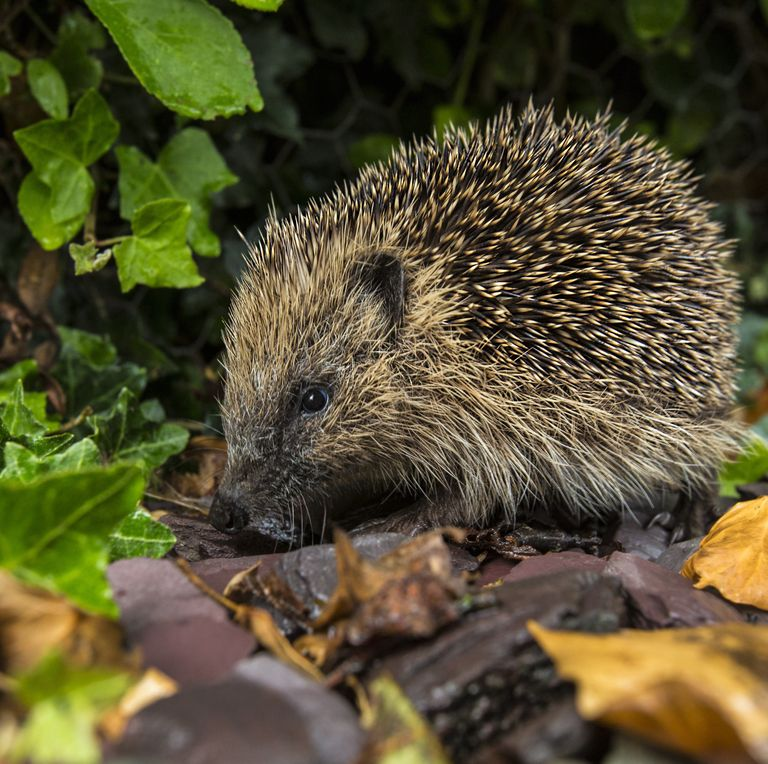 4 Signs You Have A Hedgehog In Your Garden At Night Britishisles