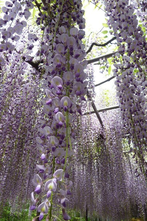 Wisteria Wow Oh My Gosh For A Lilac And Wisteria Addict This Is Unbelievable Beautiful Gardens Plants Dream Garden