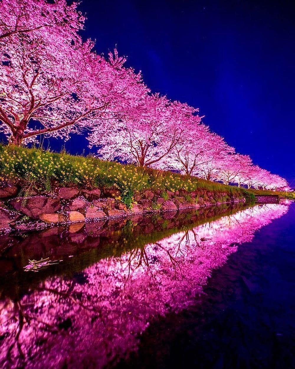 Travlel Journyy On Instagram Cherry Blossom Season In Japan Traveljournyy Tag Someone By Puraten10 Japan Beautiful Nature Instagram Nature Photography