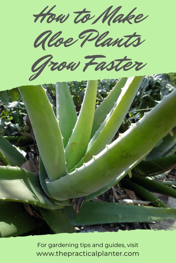 Growing Jade Plants