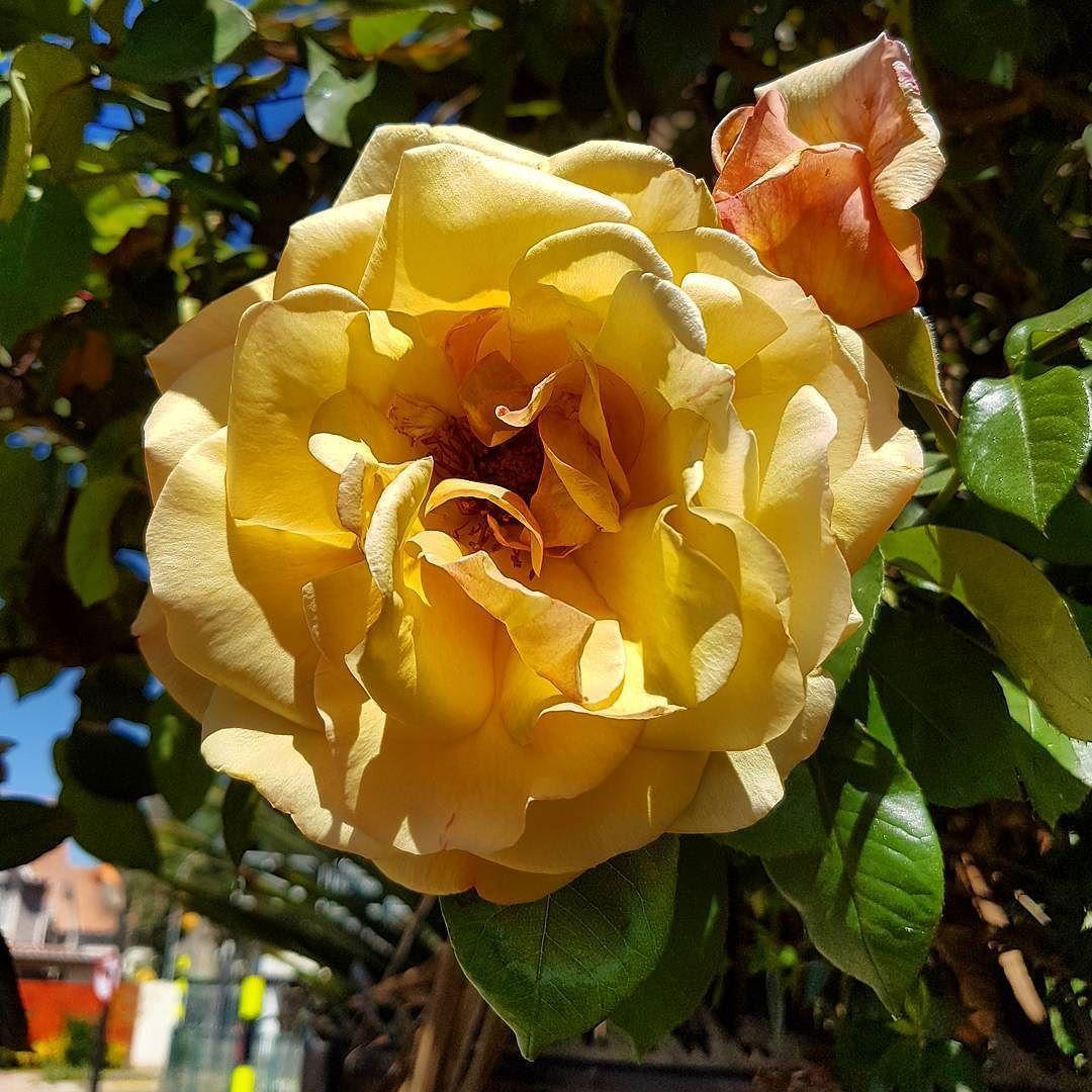 ...el perfume de la mañana #primavera #rosas