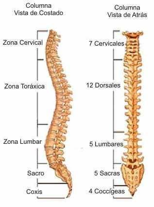 Columna Vertebral | medical | Pinterest | Columnas, Anatomía y Medicina