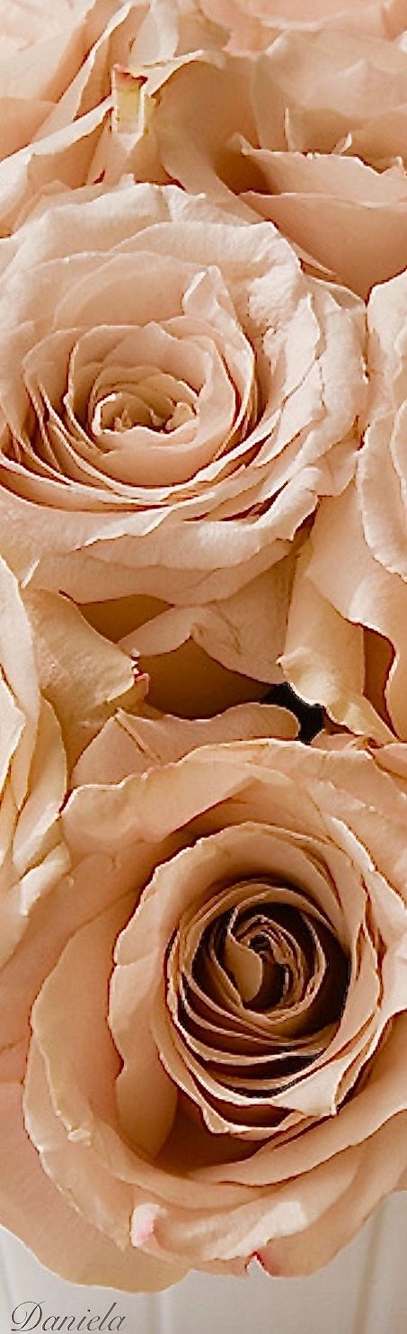 Champagne Roses Peaches Cream Beautiful Color Combinations Peach Colors