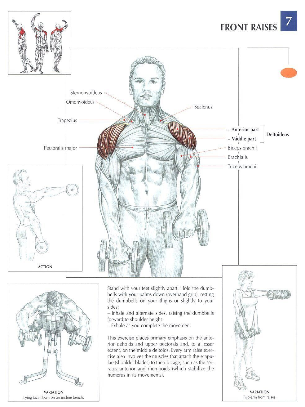 Dumbbell Front Raises ♢ #health #fitness #exercises #diagrams #body ...