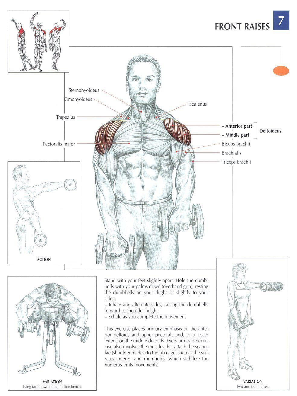 Dumbbell Front Raises | skeletal muscle diagrams | Pinterest ...