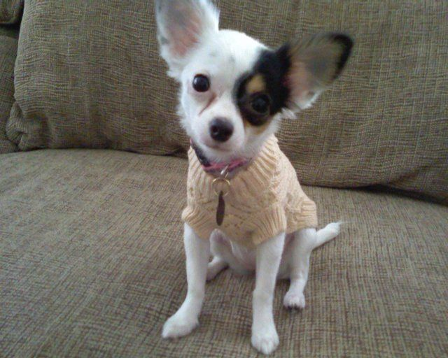 Photo Freeda Lopez Is A 9 Month Old Chihuahua Who Is Modeling