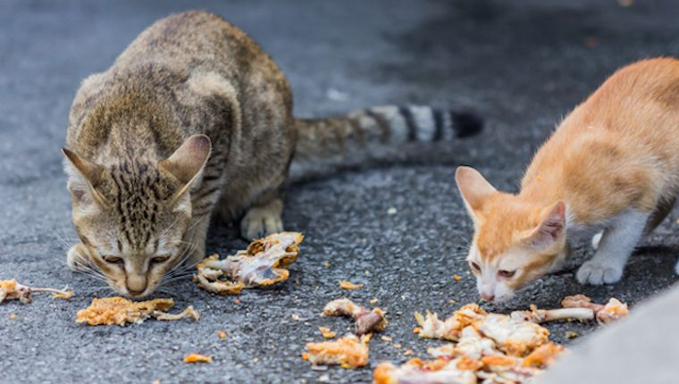 Can Cats Eat Chicken Is Chicken Safe For Cats Cattime Cats Cat Facts Cat Love