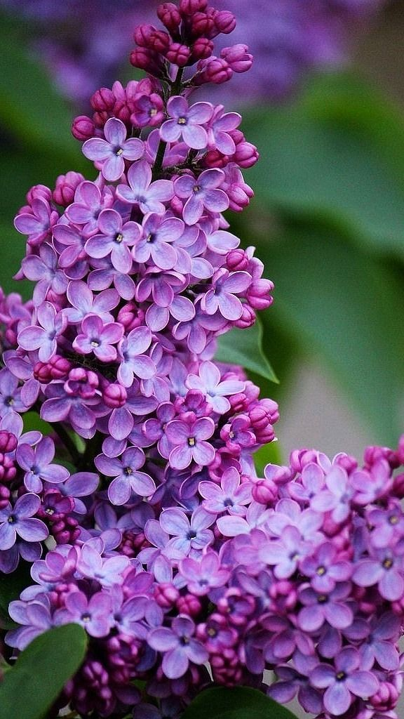 I Can Almost Smell The Perfume Lilac Tree Purple Flowers Beautiful Flowers