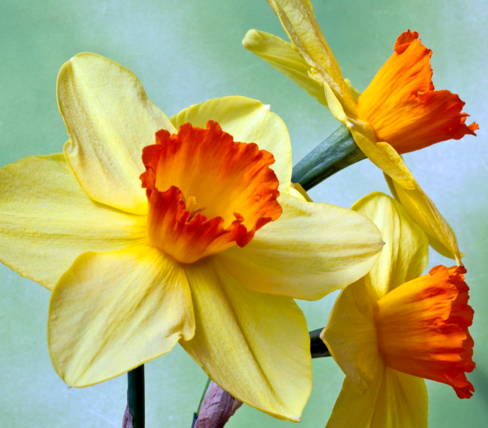15 Varieties of Daffodils to Grow