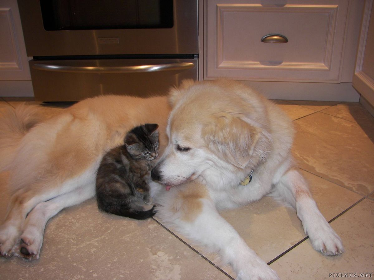 Alaskan Malamute Golden Retriever And Kitten Getting Acquainted In
