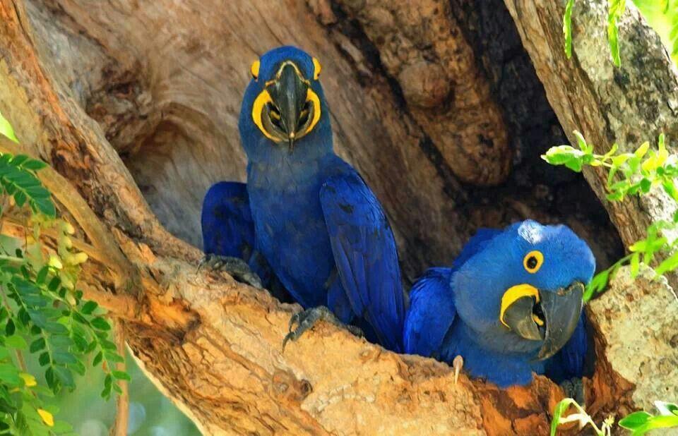 Pericos azul