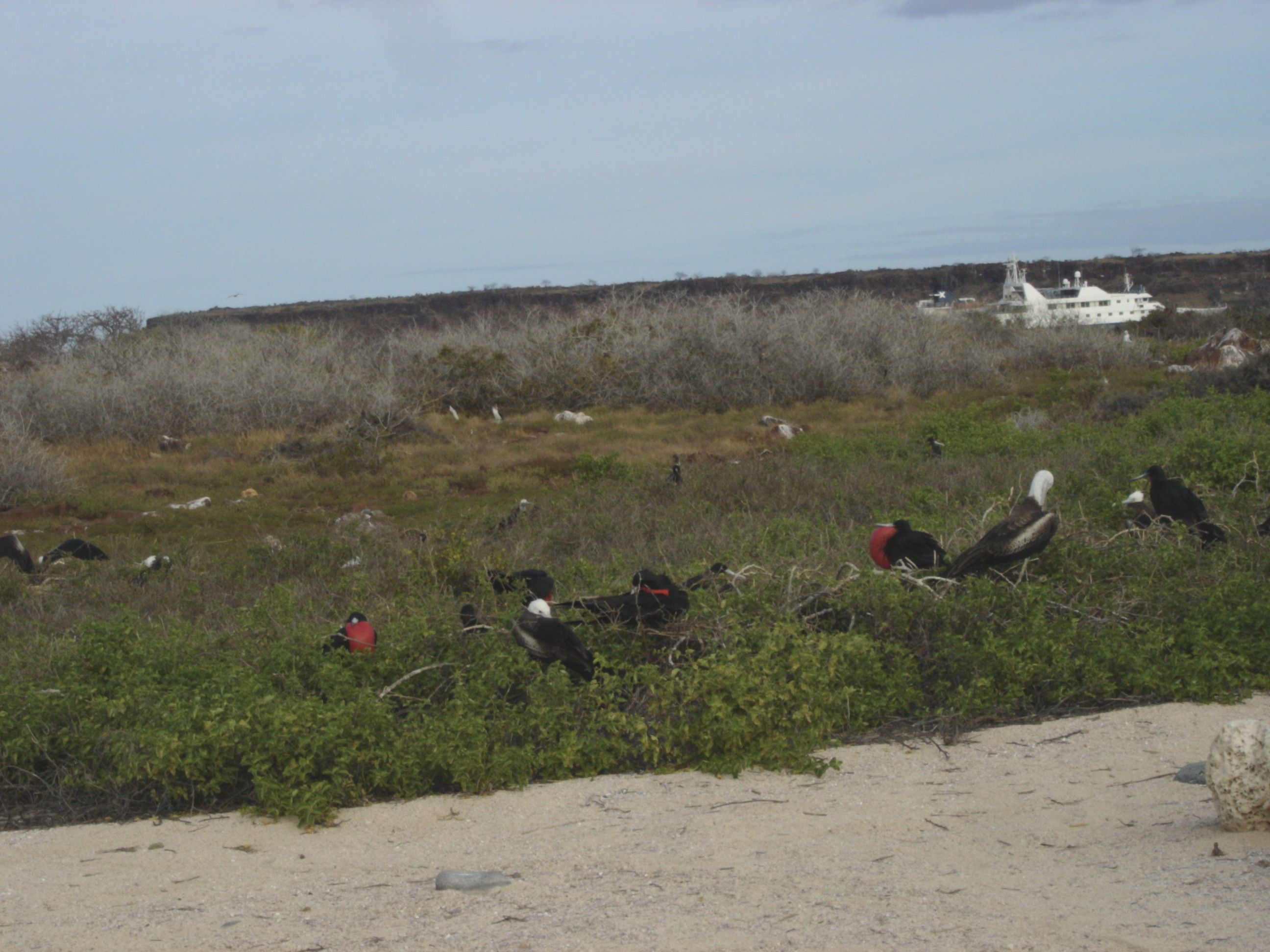 Frigate birds, Galapagos Islands