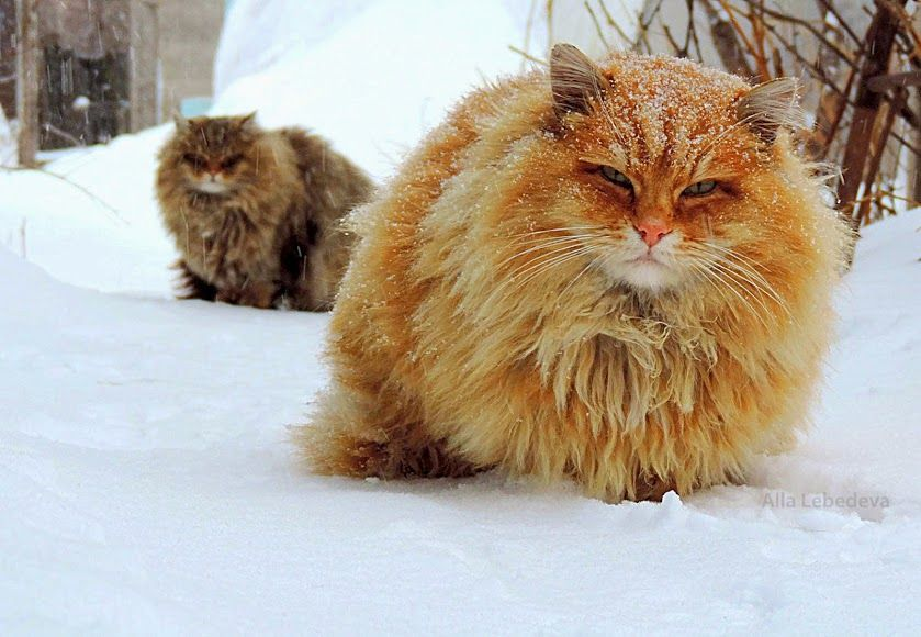 Norwegian Forest Cats No These Cats Are A Siberian Pooh And