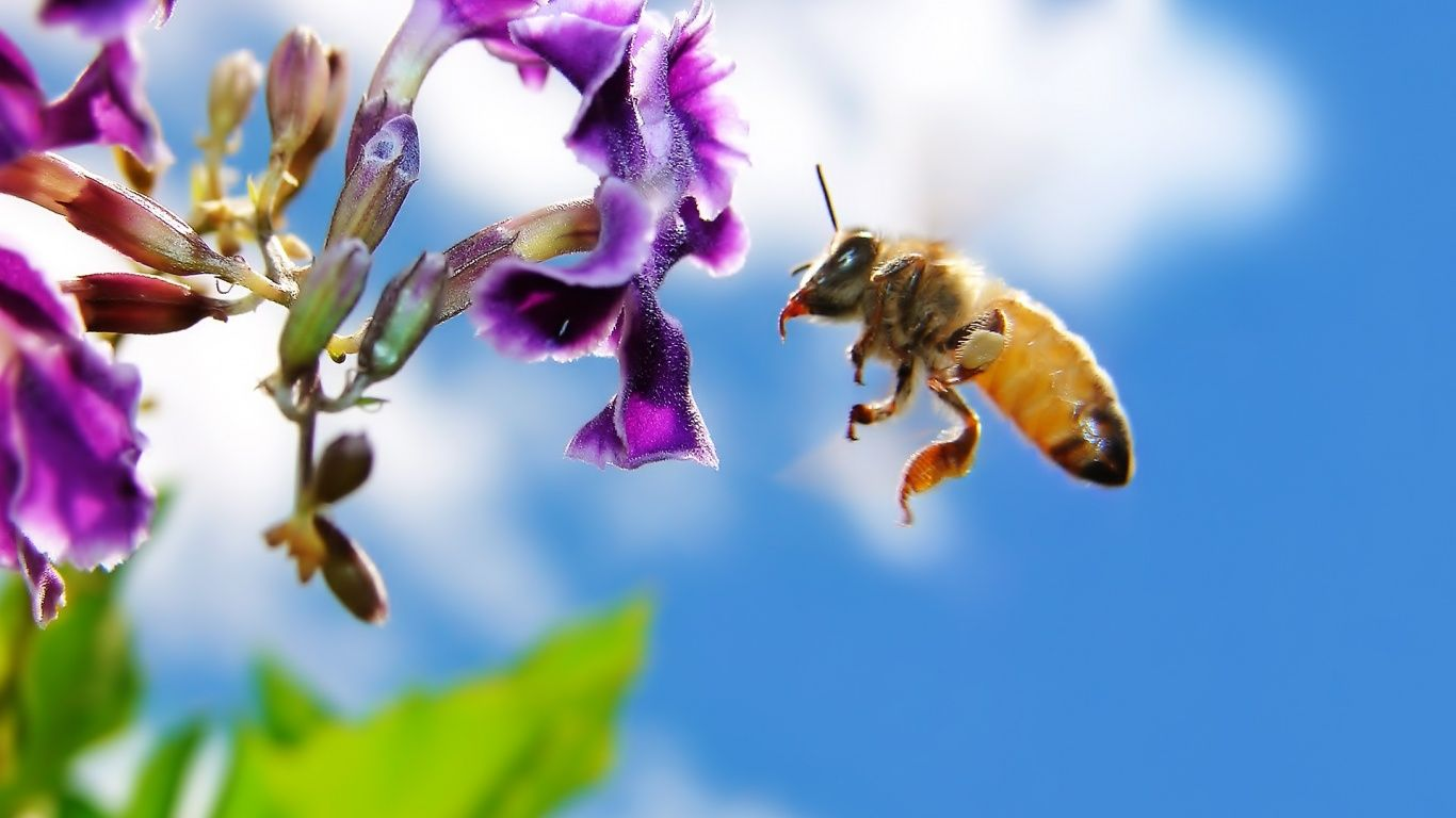 Bee On Flower 1366x768 Wallpaper Bee On Flower Bee Solitary Bees