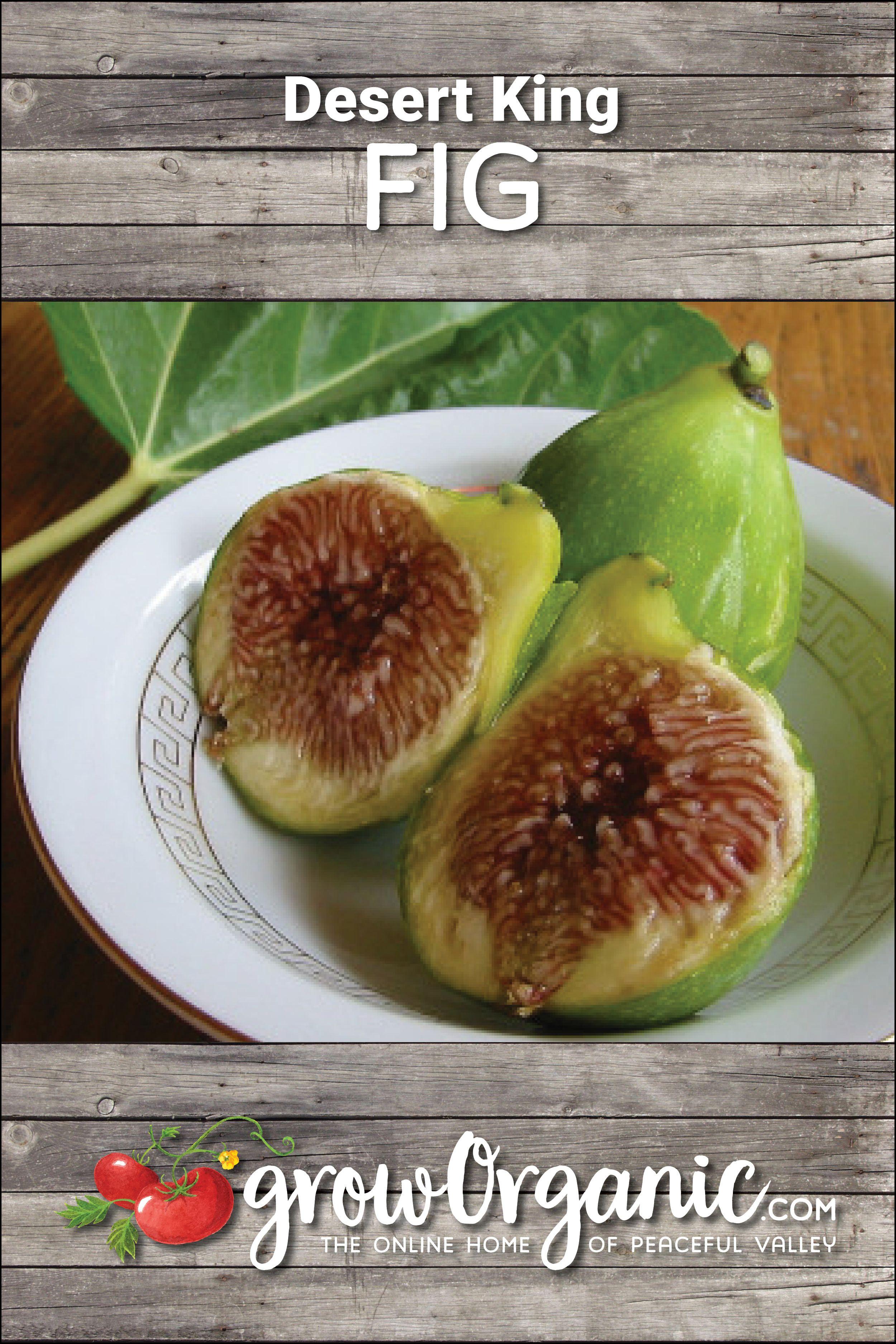 Desert King Fig Tree Standard Potted Potted Trees Fig Varieties Fig