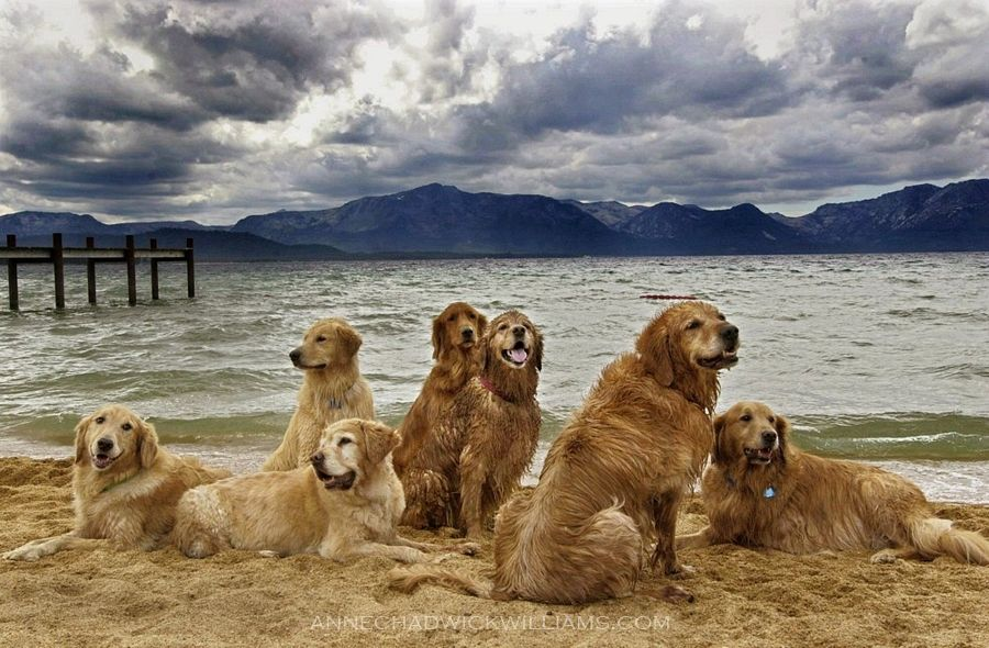 A Pack Of Golden Retrievers At Lake Tahoe Captured By Anne