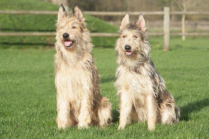 Berger Picard Dog Breed Information in 2020 Big dog