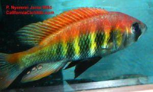 Pundamilia Nyererei Juma Island F1 African Cichlids Cichlids Tropical Aquarium