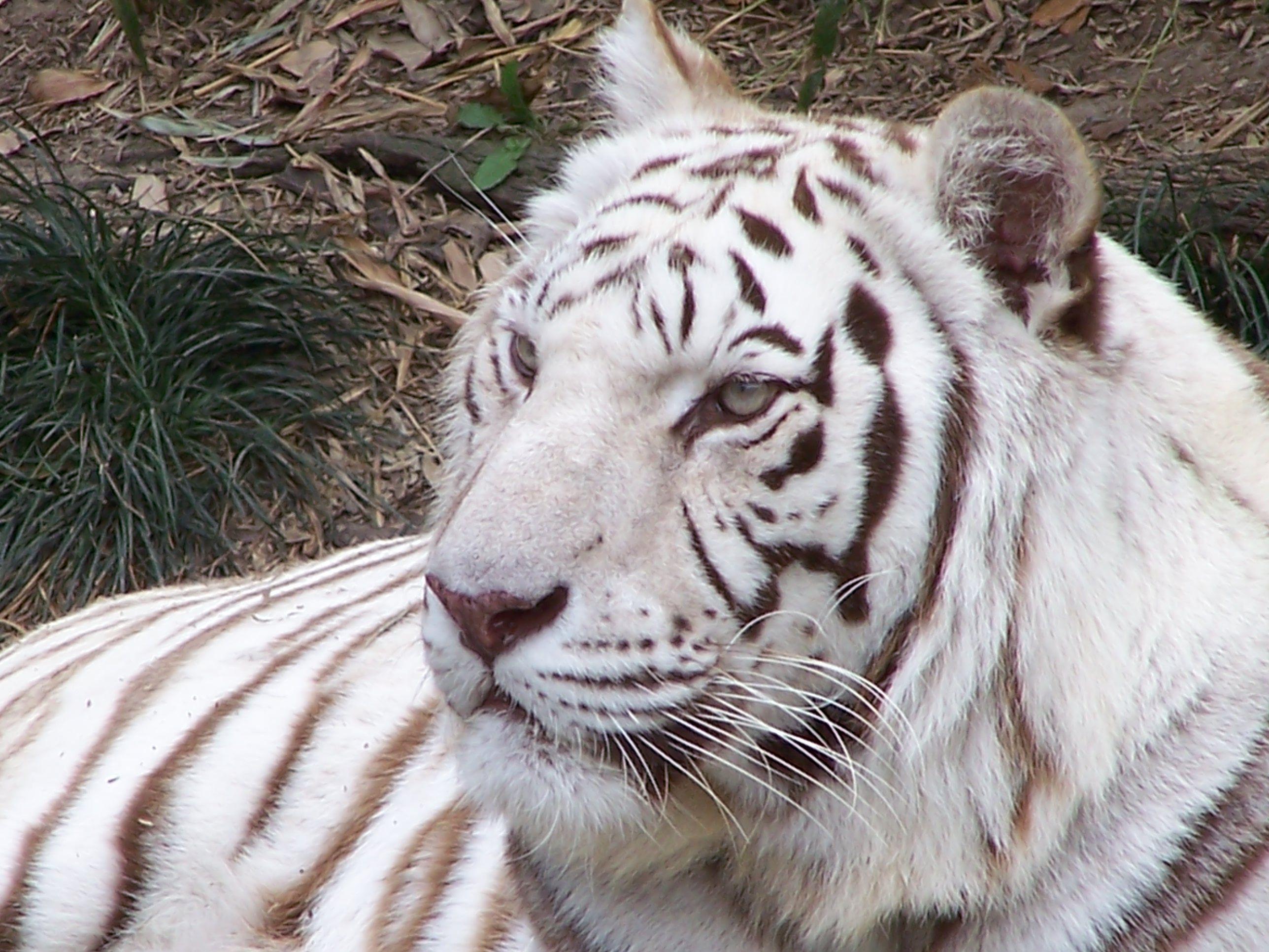 White Tiger @ Zoo