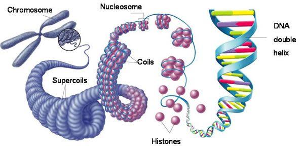 chromosome - Google Search | Interesting | Pinterest