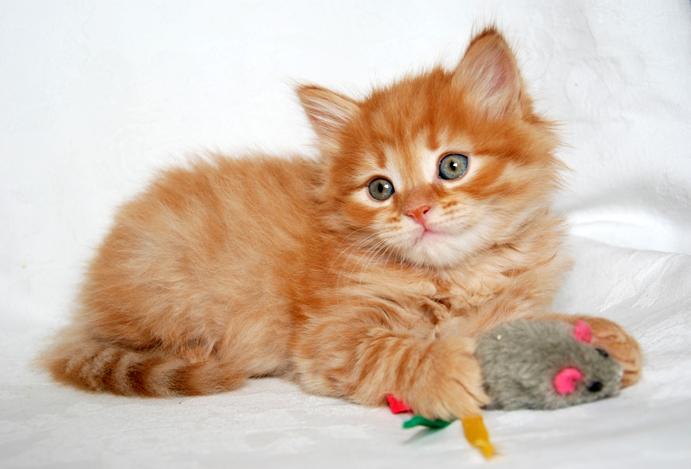 Siberian Cat Kitten Cattery Mittelmeijer The