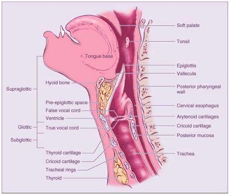 Throat Anatomy Pinterest Anatomy And Medical Coding