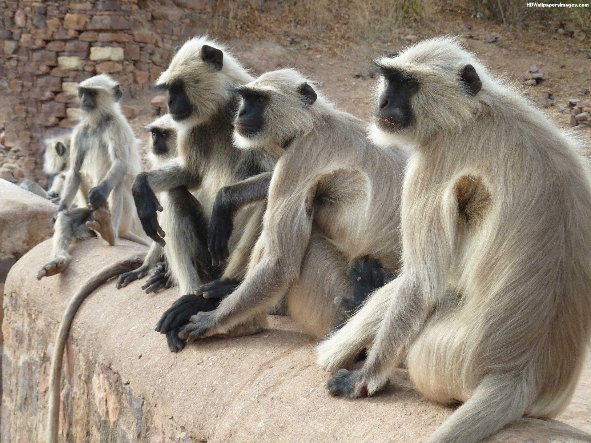 monkey india Căutare Google Year of the monkey