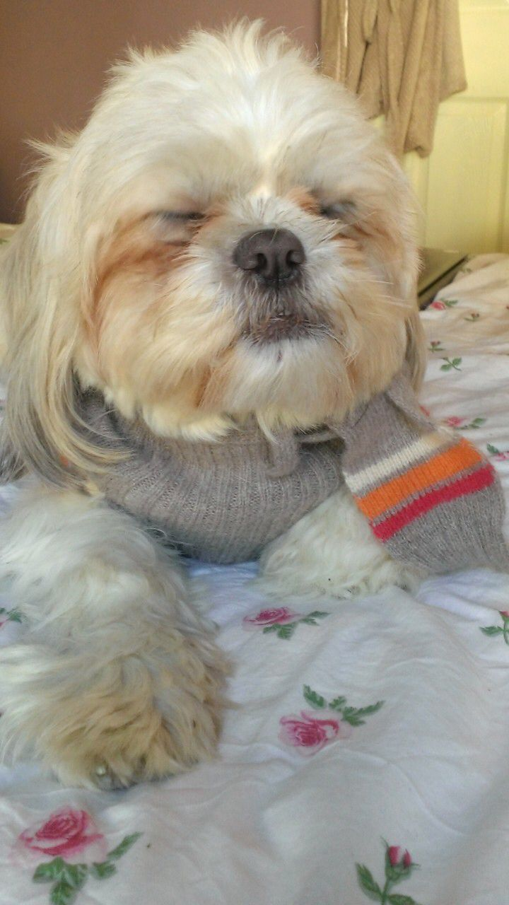 Percy Relaxing 17 Month Old Maltese Shih Tzu Cross Maltese Shih Tzu Shih Tzu Puppies