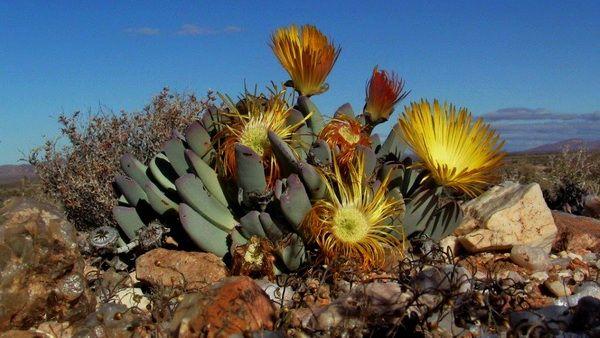 Afrique du sud - Association de Recherche et d'Information sur les Déserts Et les Succulentes
