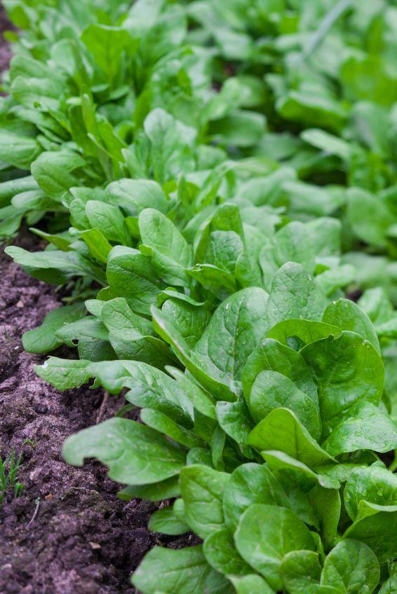 Pflucksalat Pflanzen Pflanzen Gemusegarten Tipps Gemusegarten Anlegen