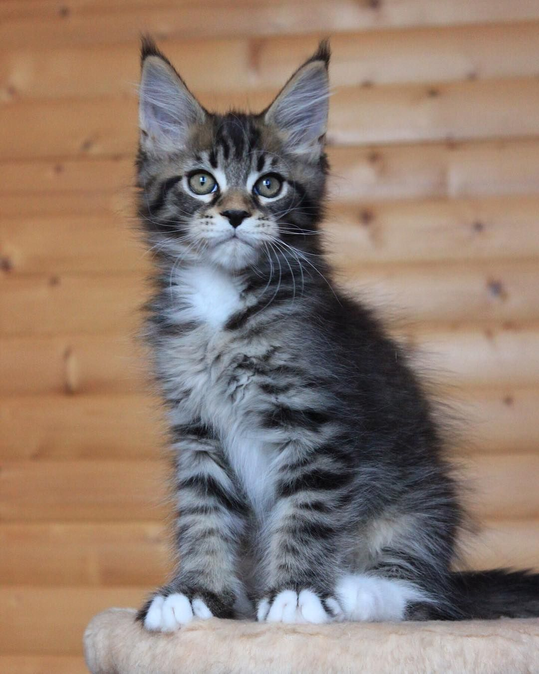 Pin By Pam Snyder On Cats Big And Small Baby Cats Cute Cats