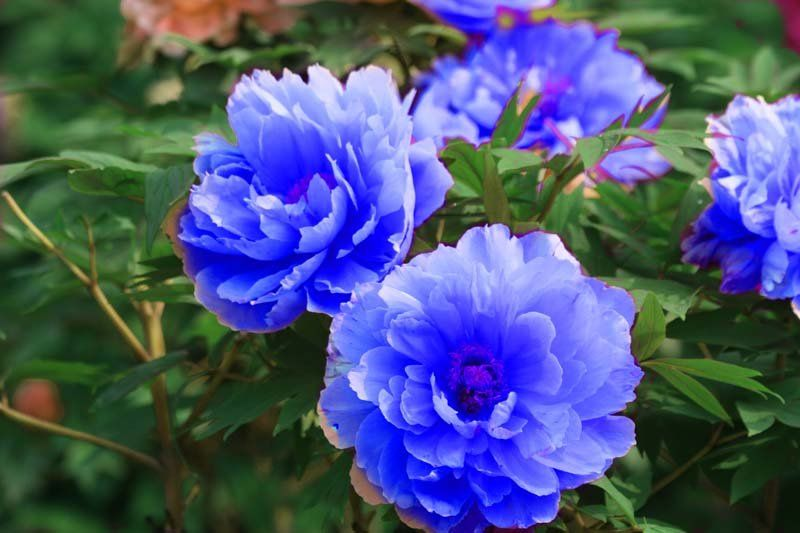 Chinese Rare Blue Peony Flower Seeds Beautiful flowers