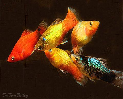 Fishkeeping Platies (or platys) are great little fish