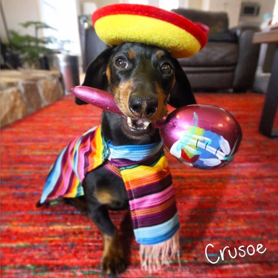 Φωτογραφία του χρήστη Crusoe the Celebrity Dachshund