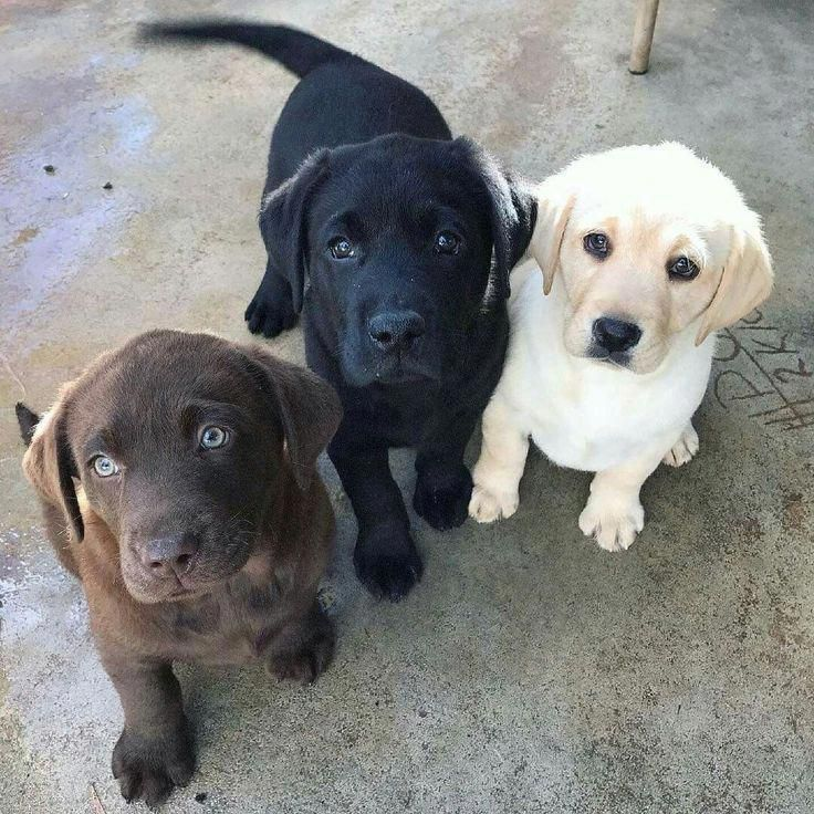 Photo of Laboratorio negro | Laboratorio amarillo | Laboratorio de chocolate | Labrador Retrievers | Cachorros #Labrador …